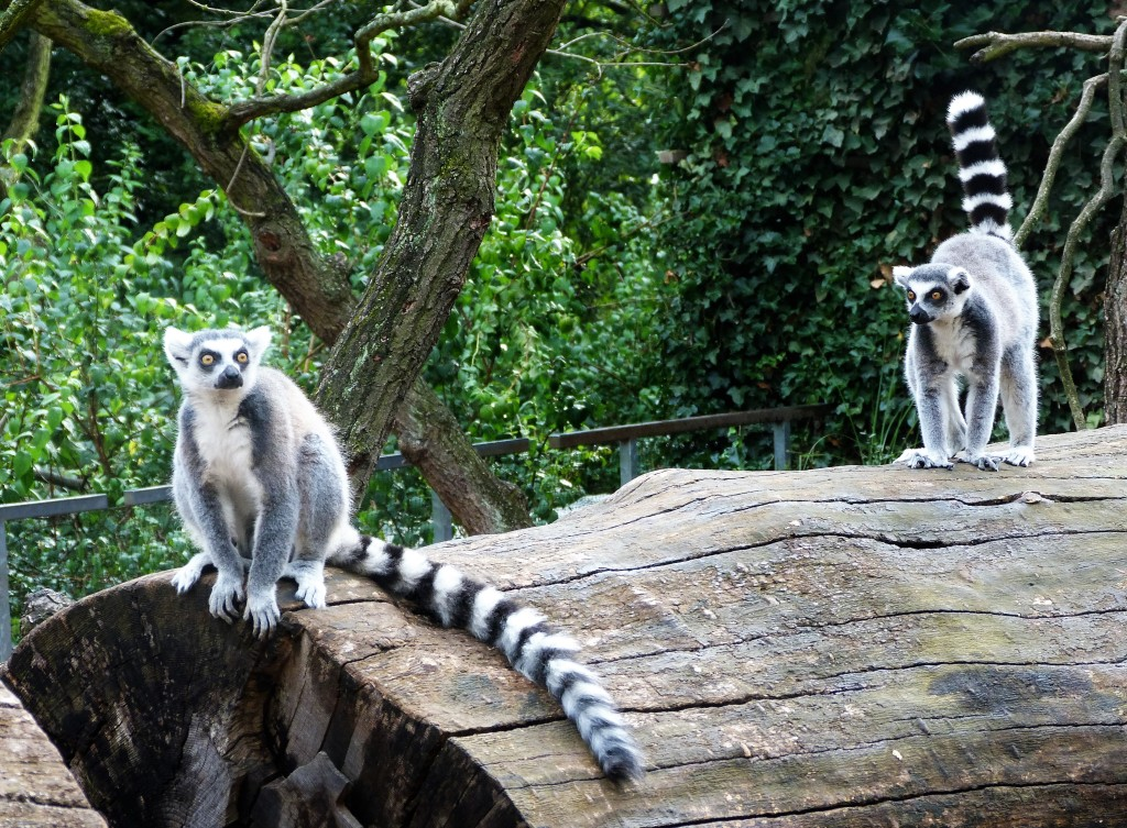 Lemur Island, where you can go inside the compound and hang out with them.