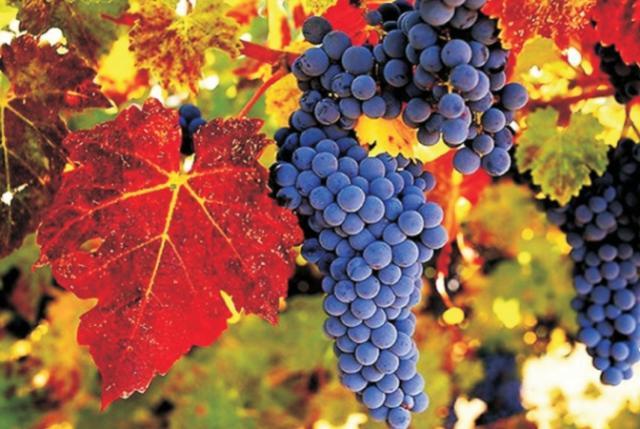 Картинки по запросу vinobrani