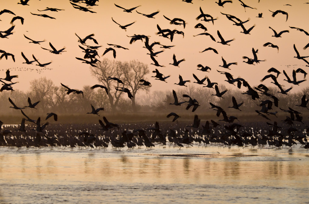 Sandhill cranes on the Platte River. Photo courtesy of U.S. Fish & Wildlife Service